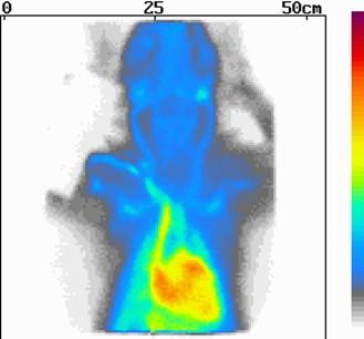 Kutya pajzsmirigy daganata radiojód kezelés után
